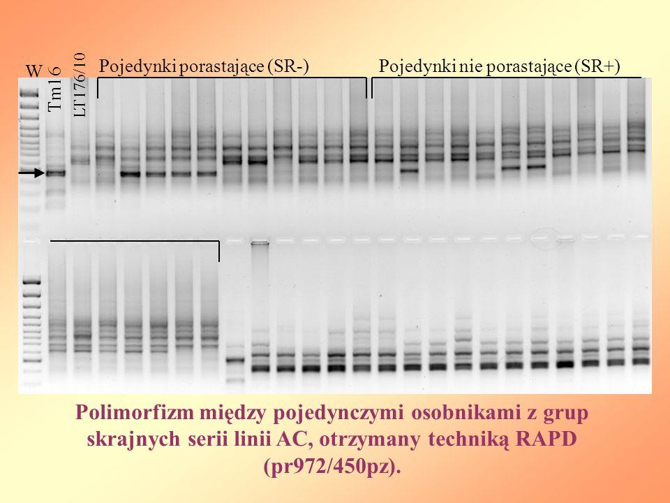 W Tm16 LT176/10 Pojedynki porastające (SR-)Pojedynki nie porastające (SR+) Polimorfizm między pojedynczymi osobnikami z grup skrajnych serii linii AC, otrzymany techniką RAPD (pr972/450pz).