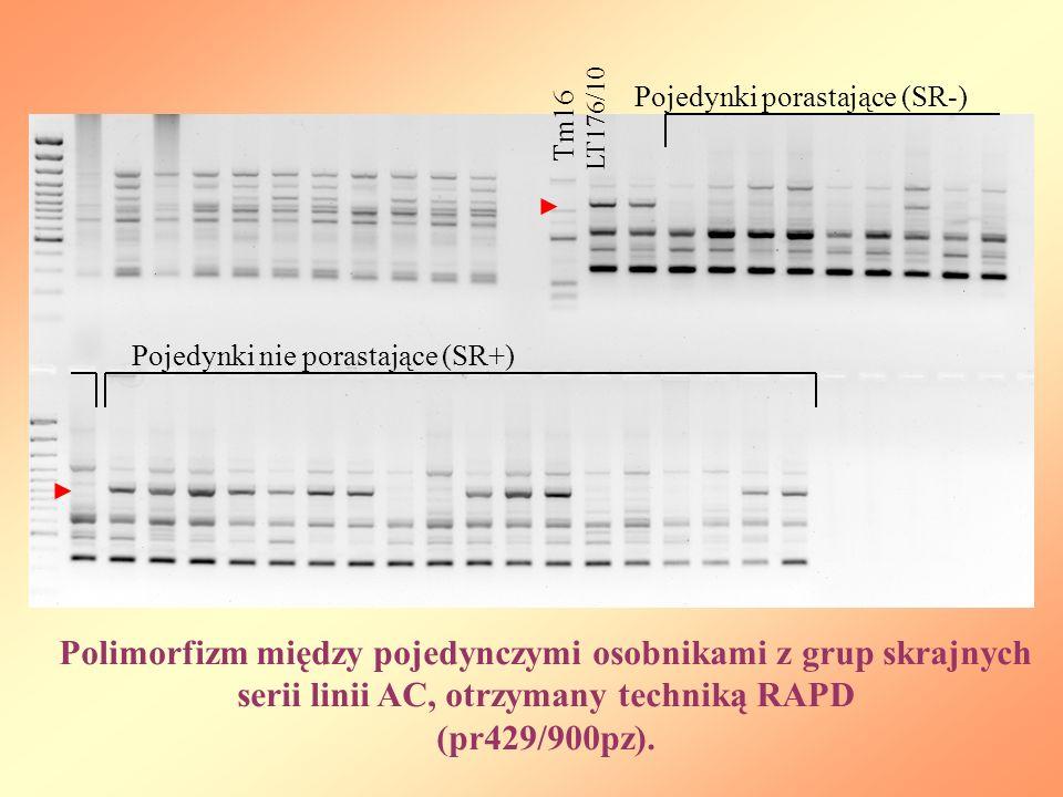Polimorfizm między pojedynczymi osobnikami z grup skrajnych serii linii AC, otrzymany techniką RAPD (pr429/900pz). Tm16 LT176/10 Pojedynki porastające