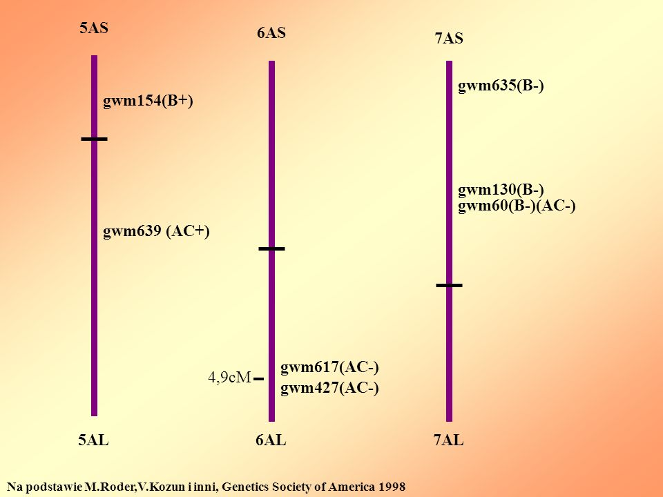 5AL 5AS 7AS 6AS 6AL7AL Na podstawie M.Roder,V.Kozun i inni, Genetics Society of America 1998 gwm639 (AC+) gwm154(B+) gwm617(AC-) gwm427(AC-) gwm635(B-