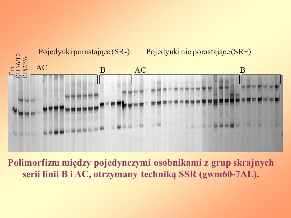 Polimorfizm między pojedynczymi osobnikami z grup skrajnych serii linii B i AC, otrzymany techniką SSR (gwm60-7AL).