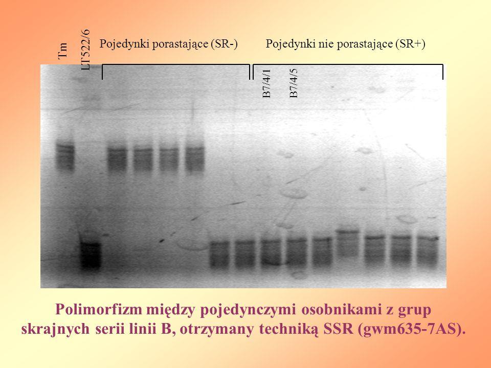 Tm LT522/6 Pojedynki porastające (SR-)Pojedynki nie porastające (SR+) B7/4/1 Polimorfizm między pojedynczymi osobnikami z grup skrajnych serii linii B, otrzymany techniką SSR (gwm635-7AS).