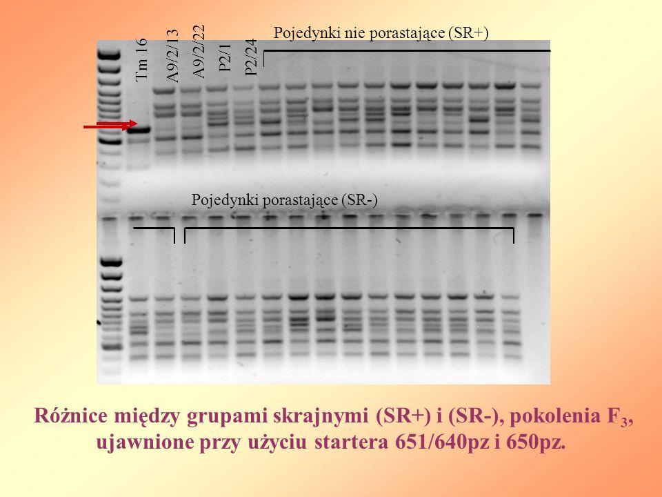 Tm 16 A9/2/22 A9/2/13 P2/1 P2/24 Pojedynki nie porastające (SR+) Pojedynki porastające (SR-) Różnice między grupami skrajnymi (SR+) i (SR-), pokolenia F 3, ujawnione przy użyciu startera 651/640pz i 650pz.