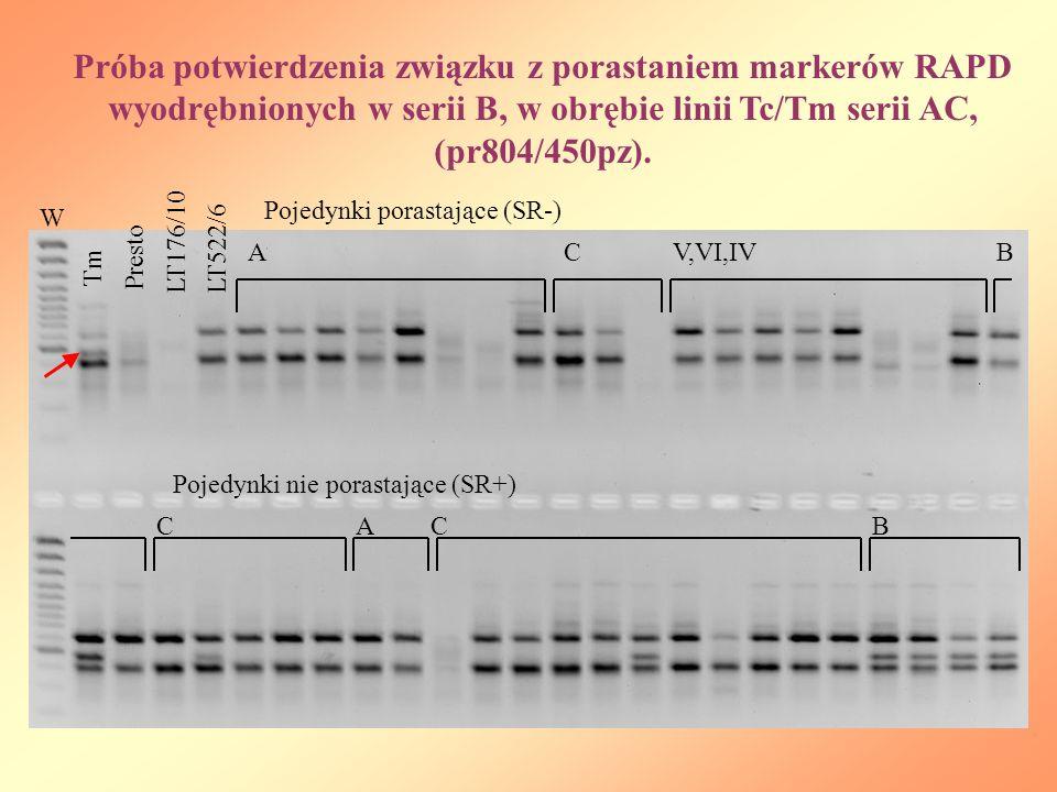 Próba potwierdzenia związku z porastaniem markerów RAPD wyodrębnionych w serii B, w obrębie linii Tc/Tm serii AC, (pr804/450pz). W Tm Presto LT176/10L