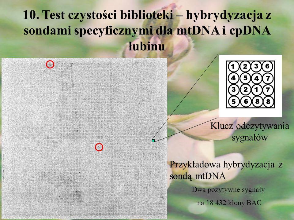 10. Test czystości biblioteki – hybrydyzacja z sondami specyficznymi dla mtDNA i cpDNA łubinu Przykładowa hybrydyzacja z sondą mtDNA Klucz odczytywani