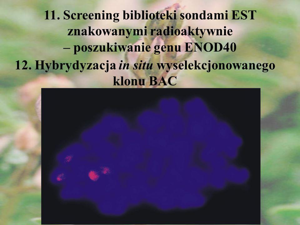 11. Screening biblioteki sondami EST znakowanymi radioaktywnie – poszukiwanie genu ENOD40 12. Hybrydyzacja in situ wyselekcjonowanego klonu BAC