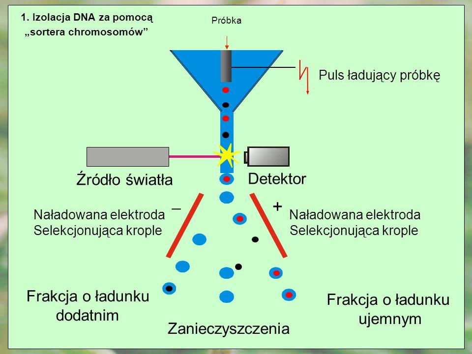 1. Izolacja DNA za pomocą sortera chromosomów