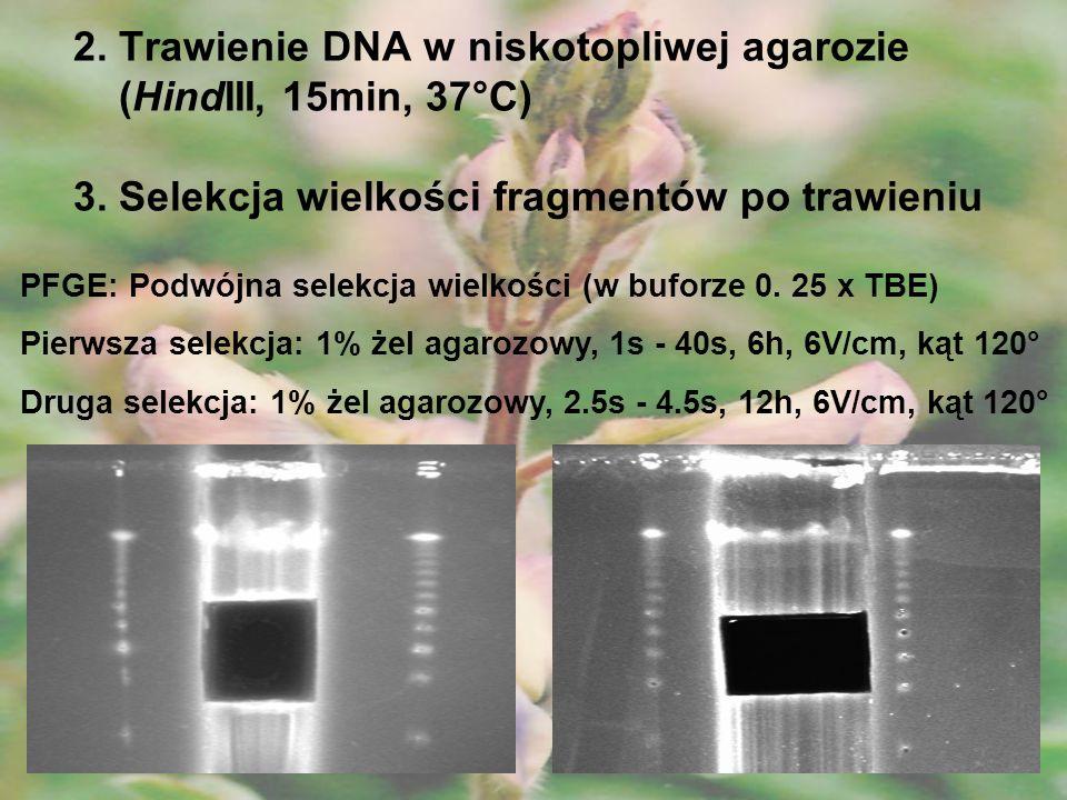 2. Trawienie DNA w niskotopliwej agarozie (HindIII, 15min, 37°C) 3. Selekcja wielkości fragmentów po trawieniu PFGE: Podwójna selekcja wielkości (w bu