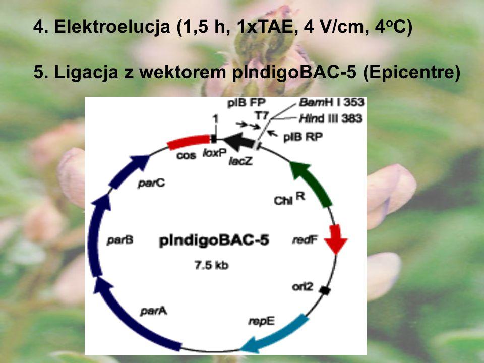 6.Transformacja E. coli DH10B (350 V, impuls 4000, 330 F) 7.