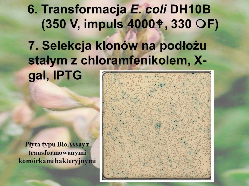 6. Transformacja E. coli DH10B (350 V, impuls 4000, 330 F) 7. Selekcja klonów na podłożu stałym z chloramfenikolem, X- gal, IPTG Płyta typu BioAssay z