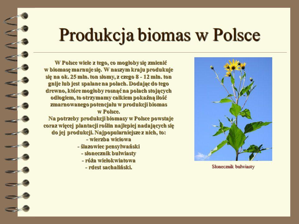 Produkcja biomas w Polsce Słonecznik bulwiasty W Polsce wiele z tego, co mogłoby się zmienić w biomasę marnuje się. W naszym kraju produkuje się na ok