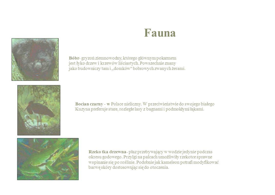 Fauna Bóbr- gryzoń ziemnowodny, którego głównym pokarmem jest łyko drzew i krzewów liściastych. Powszechnie znany jako budowniczy tam i domków