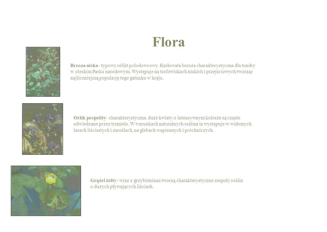 Rosiczka okrąglolistna- rozeta barwnych liści imituje okazały kwiat i przywabia owady.