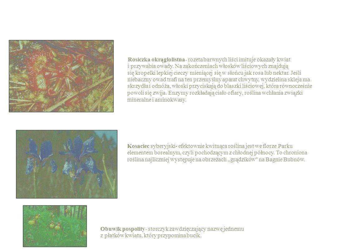 Rosiczka okrąglolistna- rozeta barwnych liści imituje okazały kwiat i przywabia owady. Na zakończeniach włosków liściowych znajdują się kropelki lepki