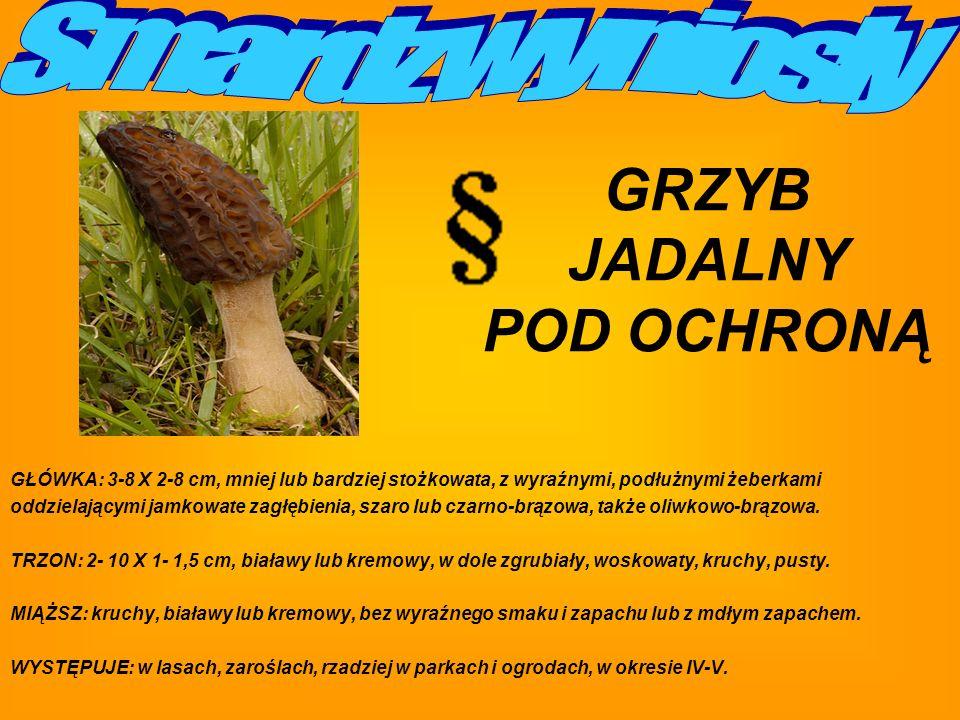 GŁÓWKA: 3-8 X 2-8 cm, mniej lub bardziej stożkowata, z wyraźnymi, podłużnymi żeberkami oddzielającymi jamkowate zagłębienia, szaro lub czarno-brązowa, także oliwkowo-brązowa.