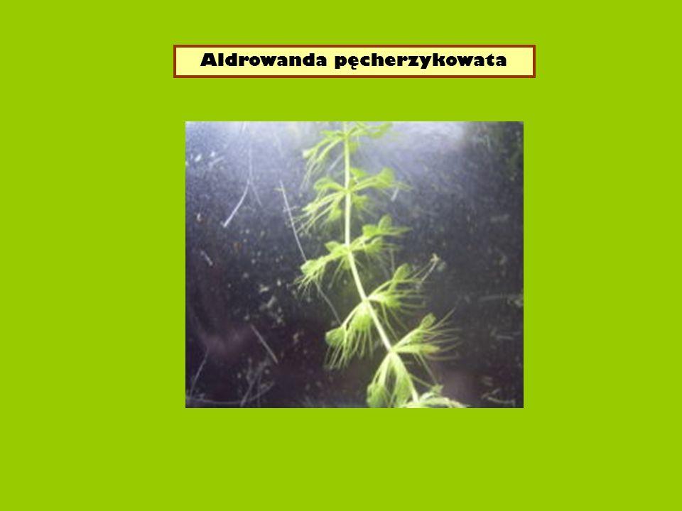 Aldrowanda pęcherzykowata