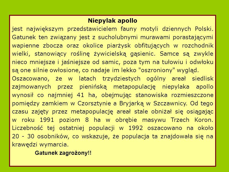 Niepylak apollo jest największym przedstawicielem fauny motyli dziennych Polski.