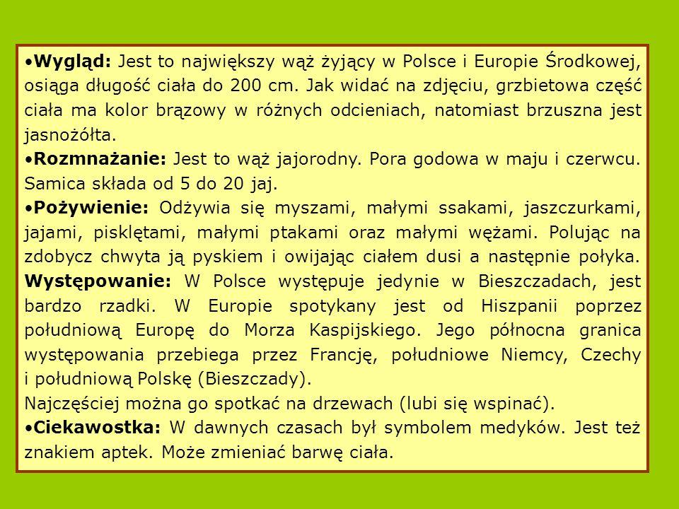 Wygląd: Jest to największy wąż żyjący w Polsce i Europie Środkowej, osiąga długość ciała do 200 cm.