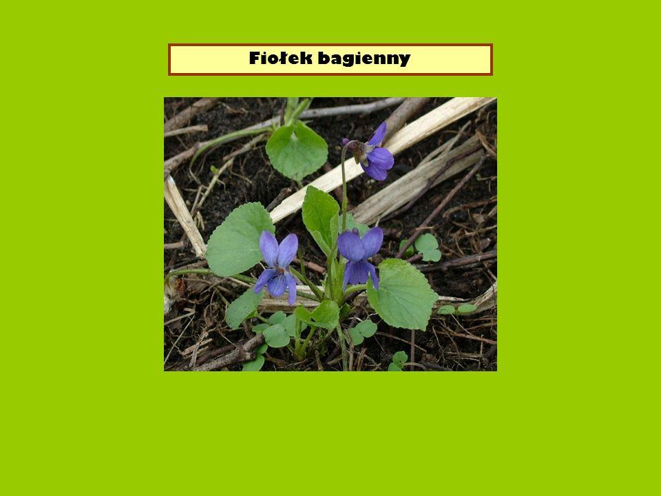 - gatunek byliny z rodziny fiołkowatych.