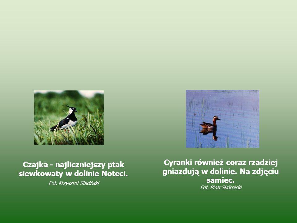 Czajka - najliczniejszy ptak siewkowaty w dolinie Noteci. Fot. Krzysztof Sfaciński Cyranki również coraz rzadziej gniazdują w dolinie. Na zdjęciu sami