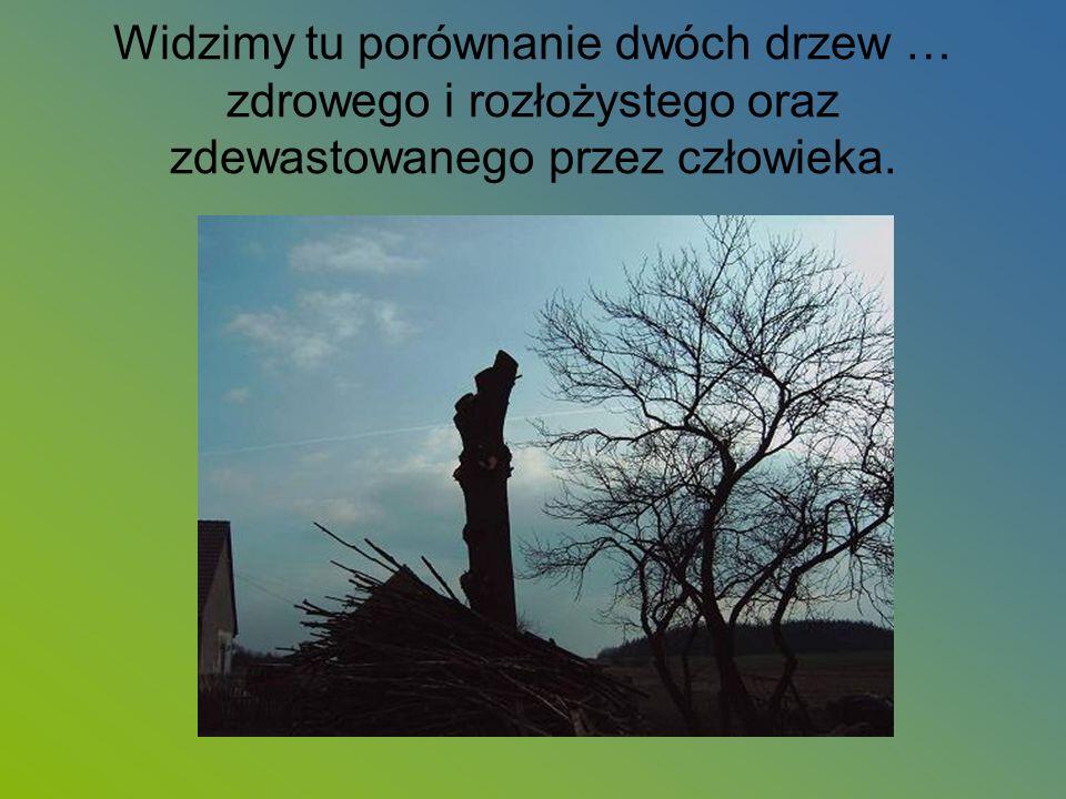 Widzimy tu porównanie dwóch drzew … zdrowego i rozłożystego oraz zdewastowanego przez człowieka.