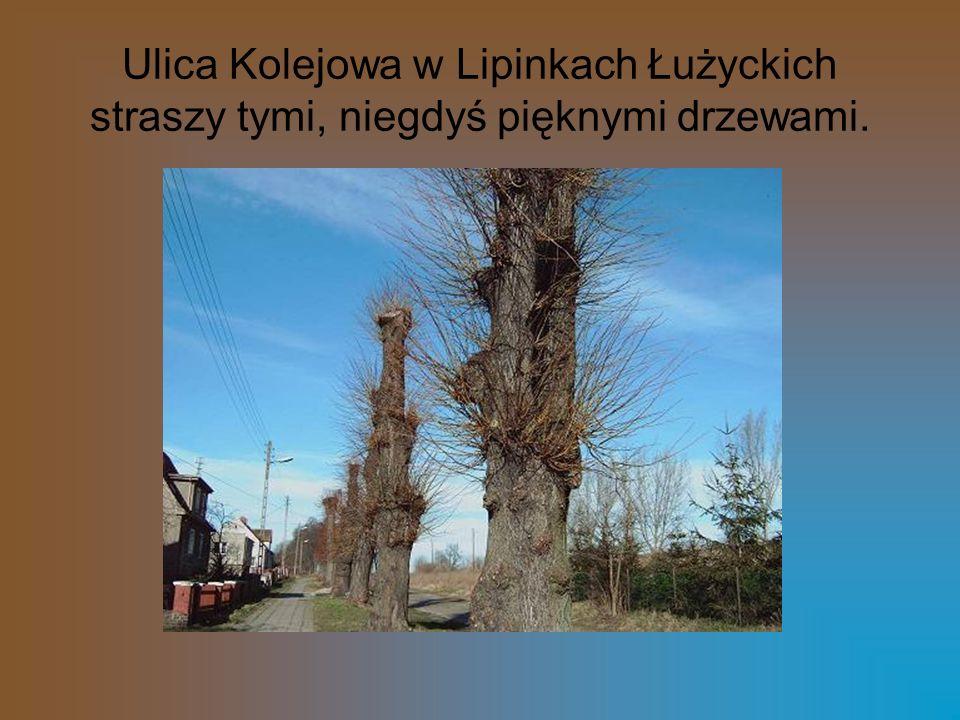 Ulica Kolejowa w Lipinkach Łużyckich straszy tymi, niegdyś pięknymi drzewami.