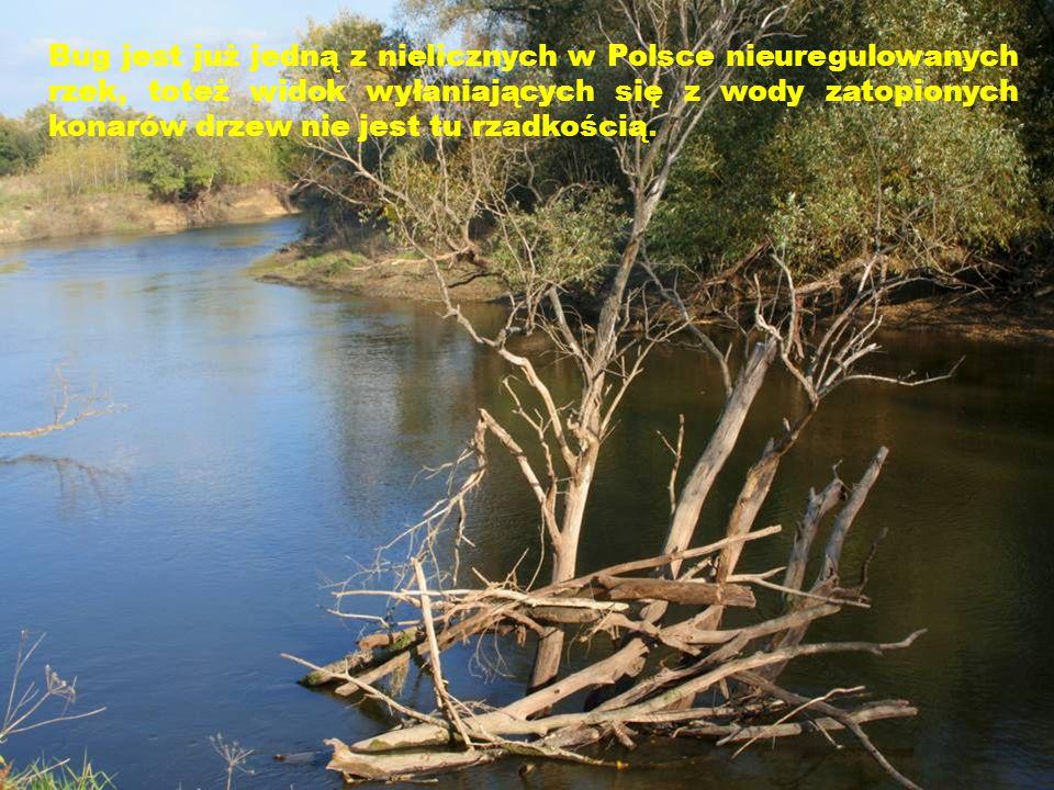 Bug jest już jedną z nielicznych w Polsce nieuregulowanych rzek, toteż widok wyłaniających się z wody zatopionych konarów drzew nie jest tu rzadkością