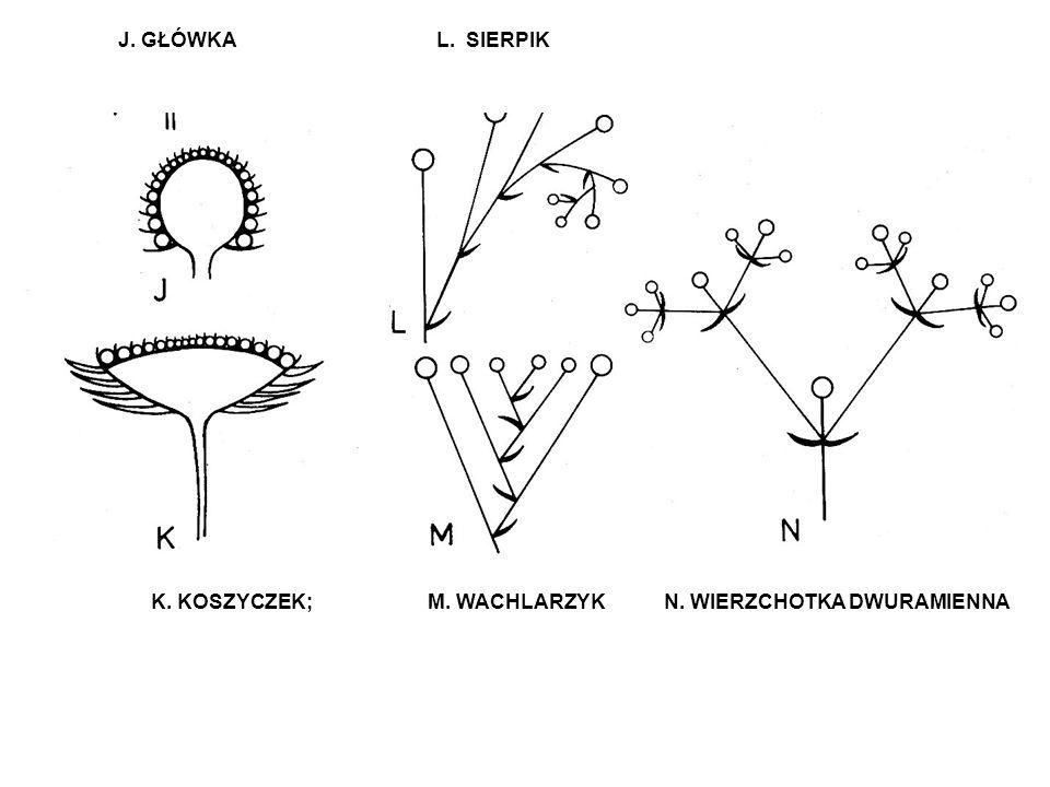 J. GŁÓWKA L. SIERPIK K. KOSZYCZEK; M. WACHLARZYK N. WIERZCHOTKA DWURAMIENNA