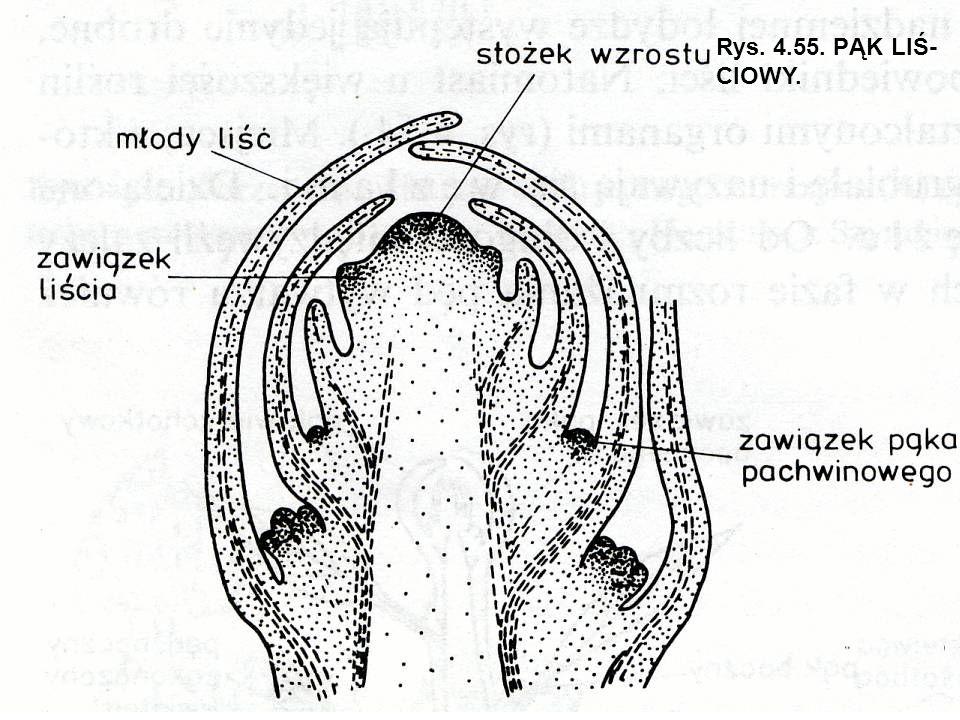 Rys. 4.55. PĄK LIŚ- CIOWY.