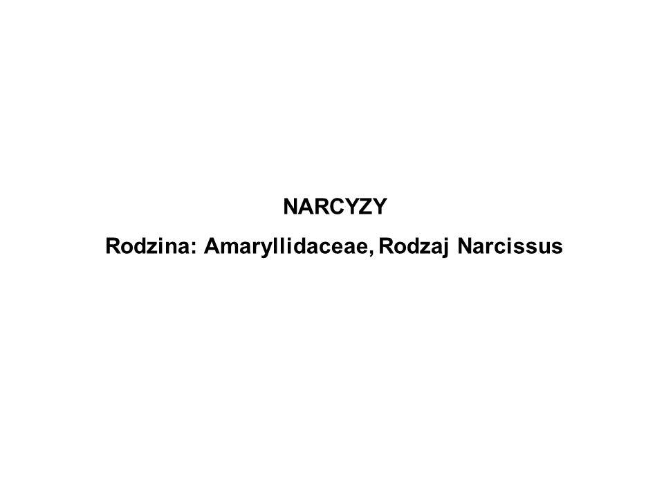NARCYZY Rodzina: Amaryllidaceae, Rodzaj Narcissus