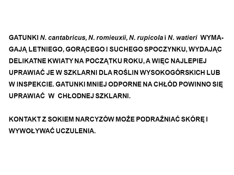 GATUNKI N. cantabricus, N. romieuxii, N. rupicola i N. watieri WYMA- GAJĄ LETNIEGO, GORĄCEGO I SUCHEGO SPOCZYNKU, WYDAJĄC DELIKATNE KWIATY NA POCZĄTKU