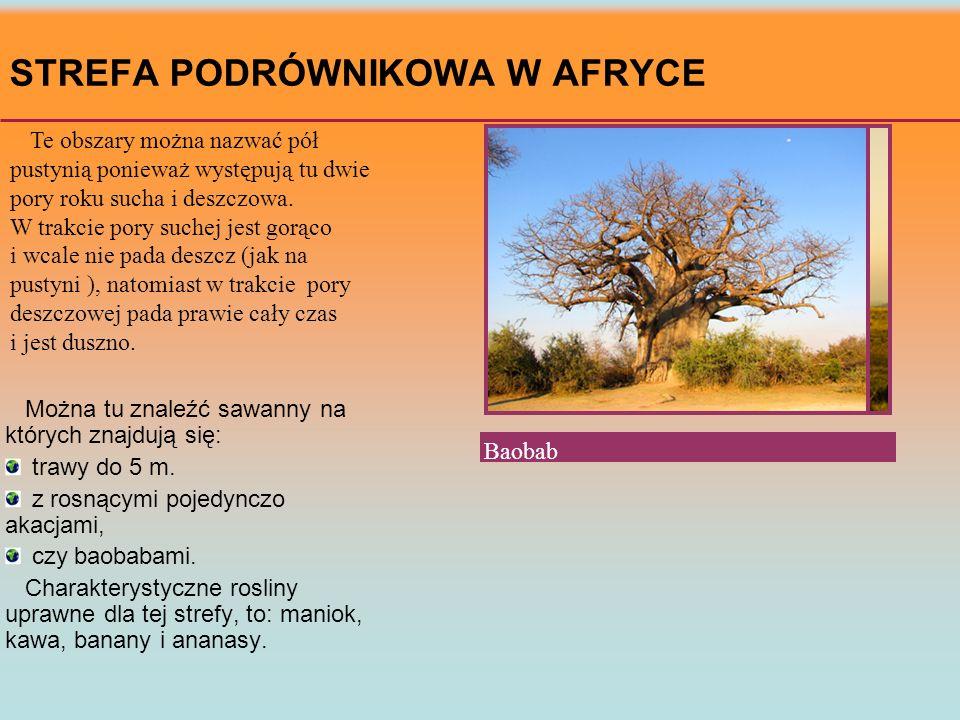 STREFA PODRÓWNIKOWA W AFRYCE Sawanna i akacja Te obszary można nazwać pół pustynią ponieważ występują tu dwie pory roku sucha i deszczowa. W trakcie p