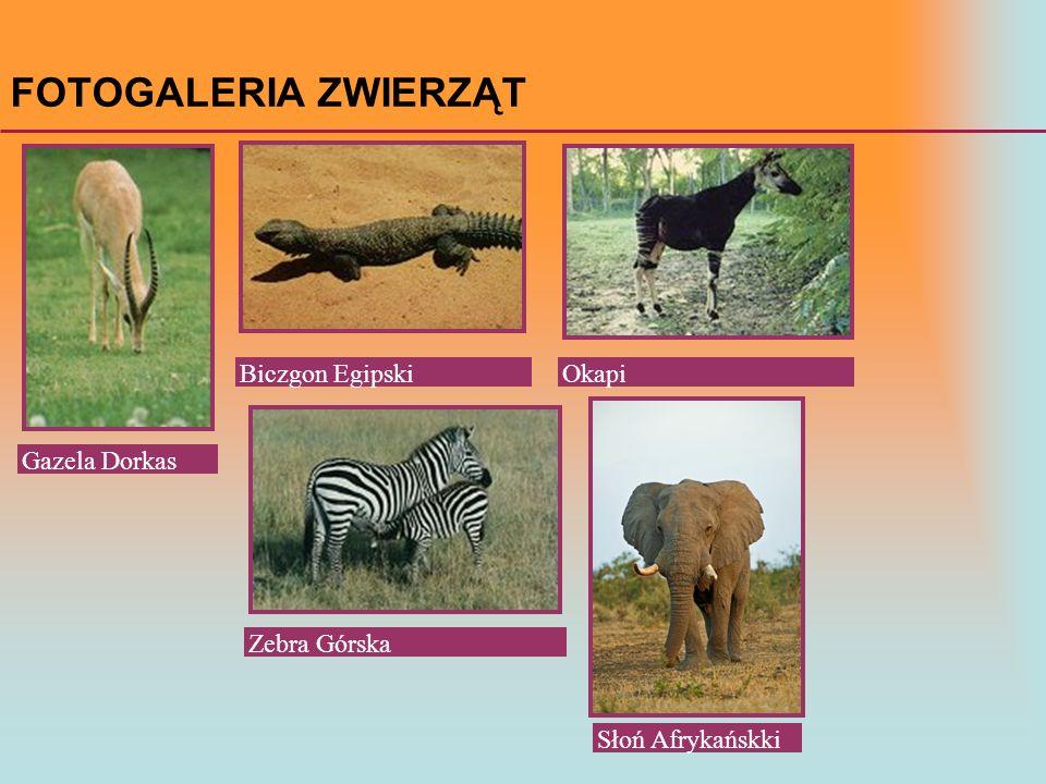 FOTOGALERIA ZWIERZĄT Gazela Dorkas Zebra Górska Biczgon EgipskiOkapi Słoń Afrykańskki