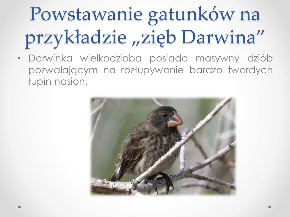Powstawanie gatunków na przykładzie zięb Darwina Darwinka wielkodzioba posiada masywny dziób pozwalającym na rozłupywanie bardzo twardych łupin nasion.