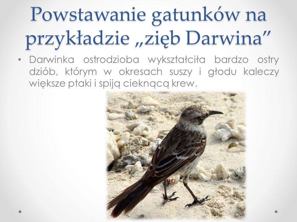 Powstawanie gatunków na przykładzie zięb Darwina Darwinka ostrodzioba wykształciła bardzo ostry dziób, którym w okresach suszy i głodu kaleczy większe ptaki i spiją cieknącą krew.