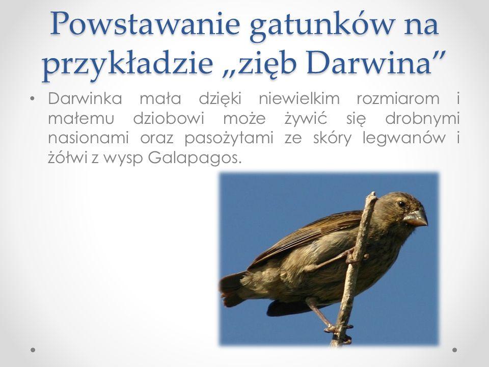 Powstawanie gatunków na przykładzie zięb Darwina Darwinka mała dzięki niewielkim rozmiarom i małemu dziobowi może żywić się drobnymi nasionami oraz pasożytami ze skóry legwanów i żółwi z wysp Galapagos.