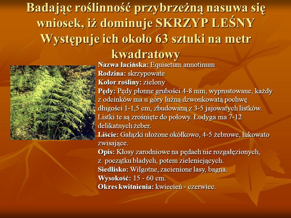 Badając roślinność przybrzeżną nasuwa się wniosek, iż dominuje SKRZYP LEŚNY Występuje ich około 63 sztuki na metr kwadratowy Nazwa łacińska: Equisetum annotinum Rodzina: skrzypowate Nazwa łacińska: Equisetum annotinum Rodzina: skrzypowate Kolor rośliny: zielony Pędy: Pędy płonne grubości 4-8 mm, wyprostowane, każdy z odcinków ma u góry luźną dzwonkowatą pochwę długości 1-1,5 cm, zbudowaną z 3-5 jajowatych listków.