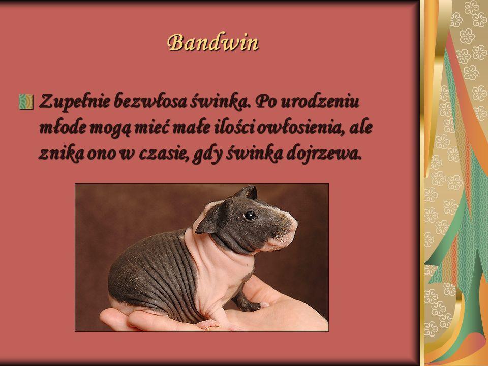 Bandwin Zupełnie bezwłosa świnka. Po urodzeniu młode mogą mieć małe ilości owłosienia, ale znika ono w czasie, gdy świnka dojrzewa.