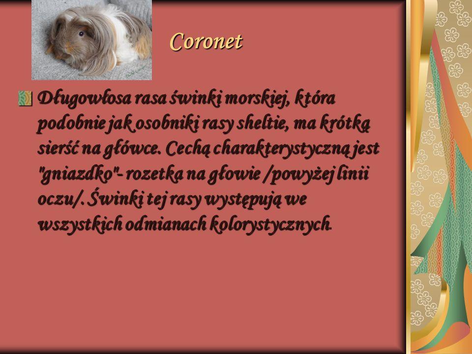 Coronet Długowłosa rasa świnki morskiej, która podobnie jak osobniki rasy sheltie, ma krótką sierść na główce. Cechą charakterystyczną jest