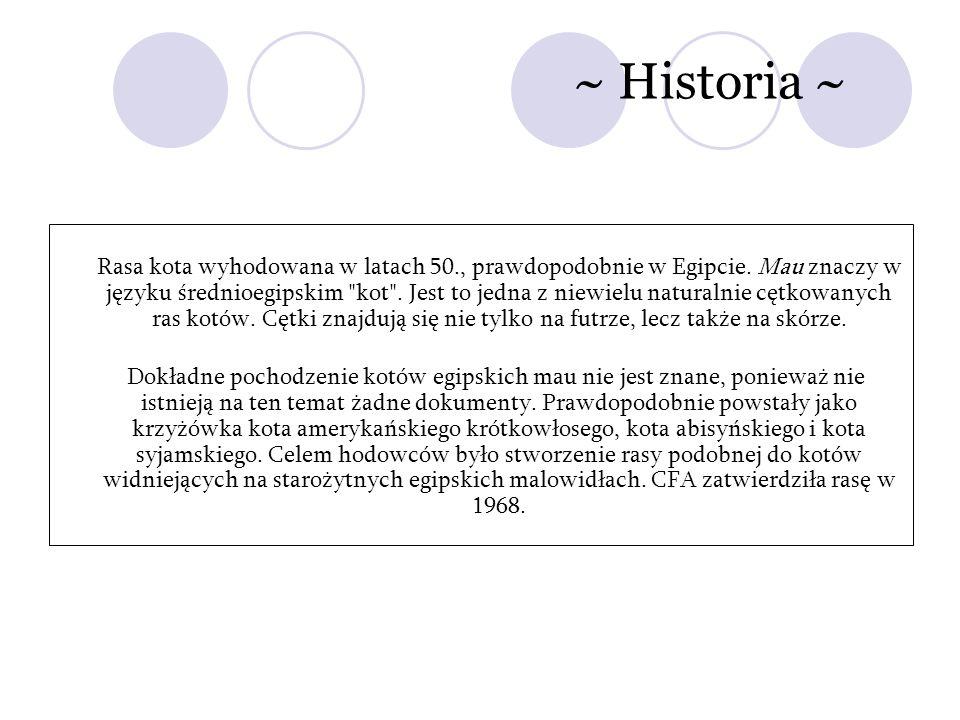~ Historia ~ Rasa kota wyhodowana w latach 50., prawdopodobnie w Egipcie. Mau znaczy w języku średnioegipskim