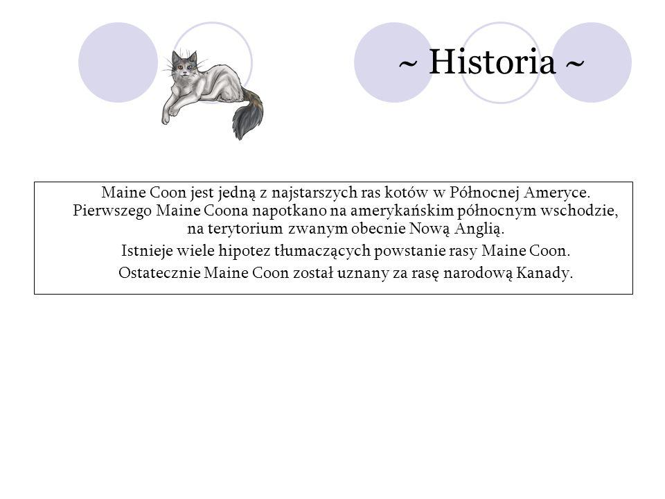 ~ Historia ~ Maine Coon jest jedną z najstarszych ras kotów w Północnej Ameryce. Pierwszego Maine Coona napotkano na amerykańskim północnym wschodzie,