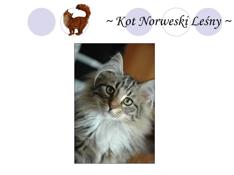 ~ Kot Norweski Leśny ~