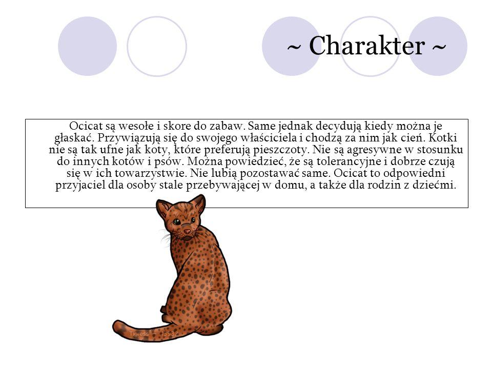 ~ Charakter ~ Ocicat są wesołe i skore do zabaw. Same jednak decydują kiedy można je głaskać. Przywiązują się do swojego właściciela i chodzą za nim j