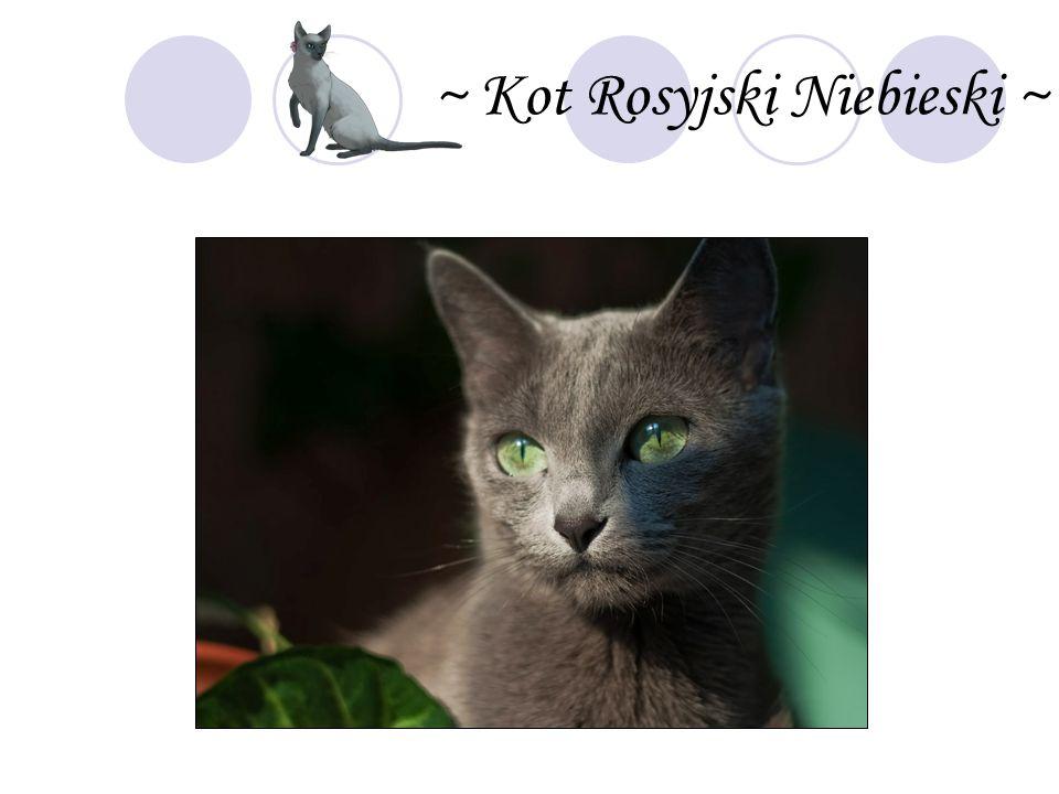 ~ Kot Rosyjski Niebieski ~