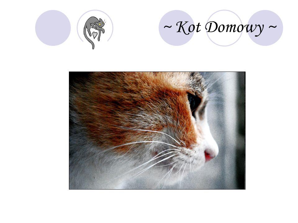 ~ Kot Domowy ~