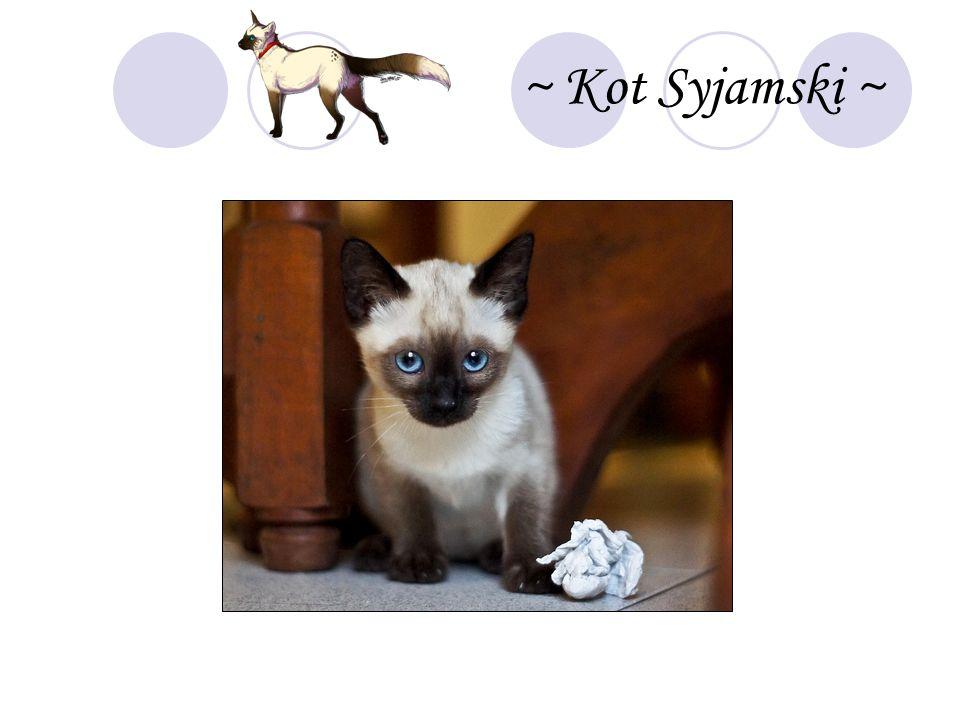 ~ Kot Syjamski ~