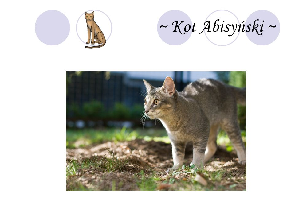 ~ Kot Abisyński ~