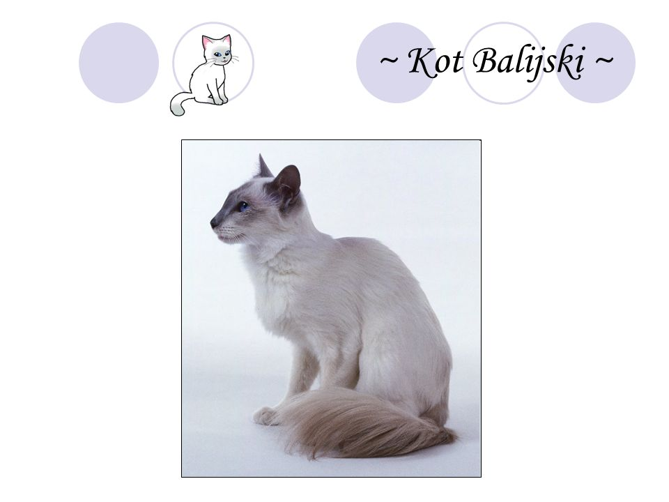 ~ Kot Balijski ~