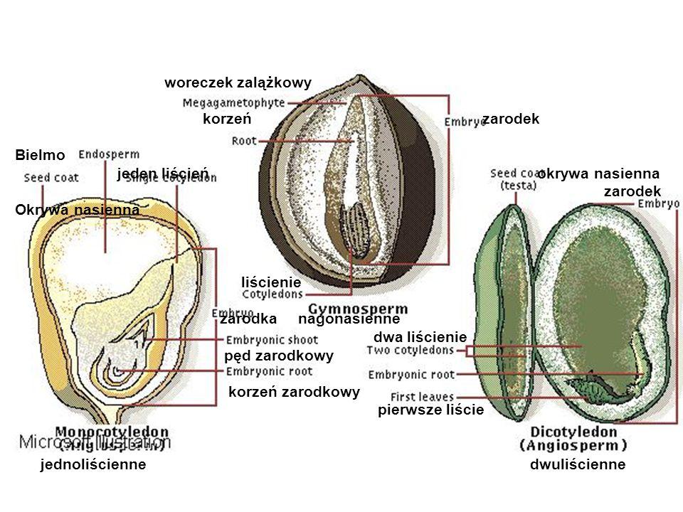 woreczek zalążkowy korzeń zarodek Bielmo jeden liścień okrywa nasienna zarodek Okrywa nasienna liścienie zarodka nagonasienne dwa liścienie pęd zarodk