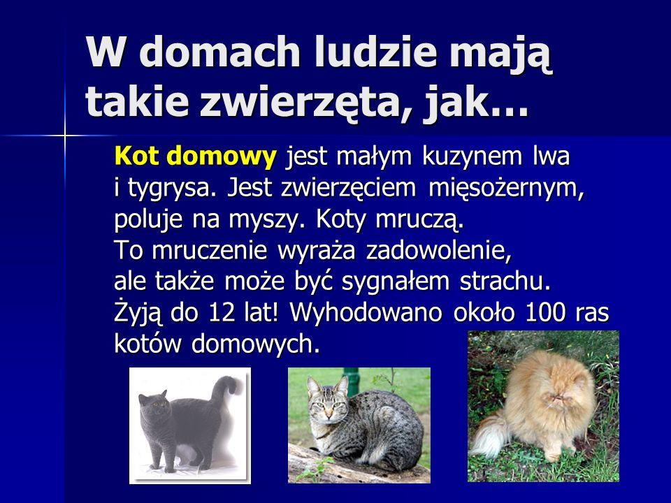 W domach ludzie mają takie zwierzęta, jak… Kot domowy jest małym kuzynem lwa i tygrysa. Jest zwierzęciem mięsożernym, poluje na myszy. Koty mruczą. To