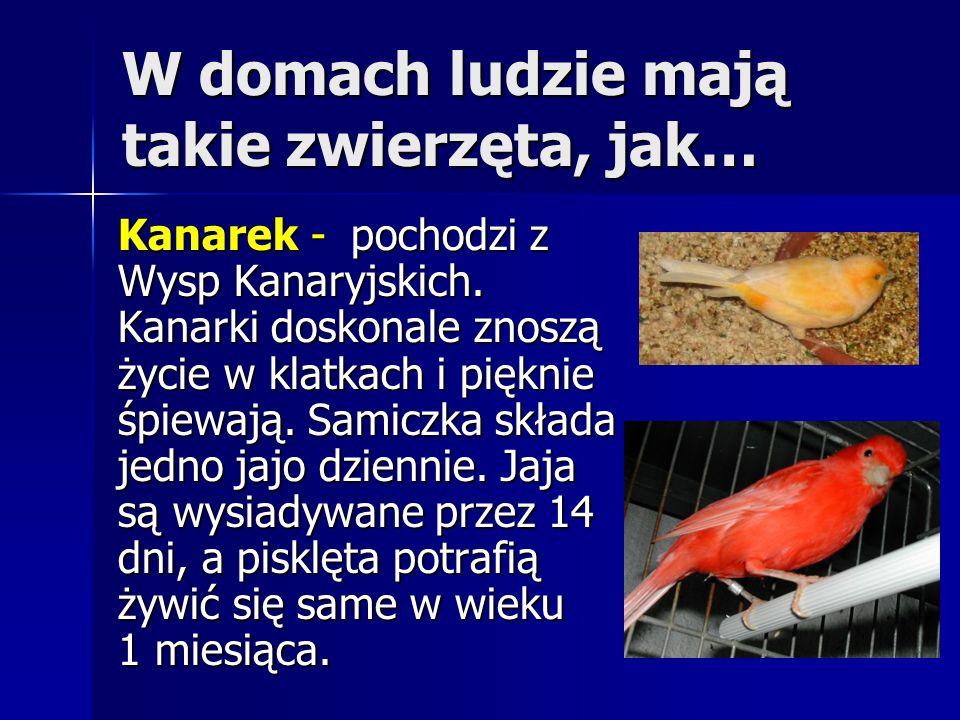 W domach ludzie mają takie zwierzęta, jak… Kanarek - pochodzi z Wysp Kanaryjskich. Kanarki doskonale znoszą życie w klatkach i pięknie śpiewają. Samic